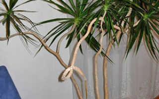 Способы размножения Драцены: верхушечными и стеблевыми черенками, отростками и семенами