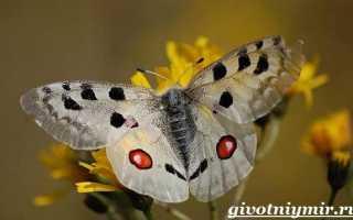 Бабочка Мнемозина – фото, описание и образ жизни