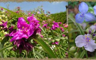 Традесканция Садовая Многолетняя в Ландшафтном Дизайне, Посадка, Выращивание и Уход, Сорта Цветка