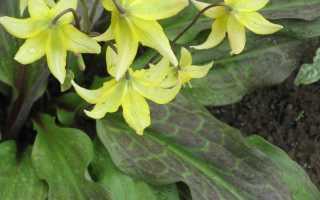 Кандык (Эритрониум) — описание, размножение, уход, посадка, фото, применение в саду, сорта и виды