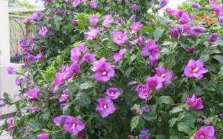 Древовидный сирийский садовый гибискус: посадка в саду, уход и как зимовать уличным цветкам, фото дерева