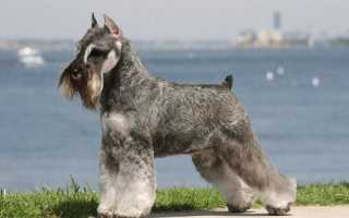 Миттельшнауцер: описание породы собак, характеристика навыков, уход и содержание
