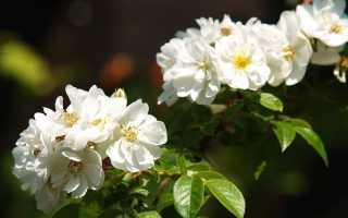 Лучшие красные сорта плетистых роз с отзывами и описаниями
