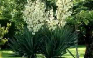 Юкка садовая — 68 фото новых многолетних идей для Вашего сада