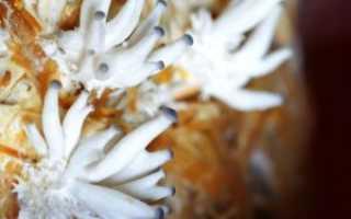 Как вырастить мицелий вешенки в домашних условиях: технология производства и хранения