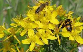 Трава зверобой: её полезные и лечебные свойства, препараты на основе растения, противопоказания для женщин
