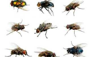 Виды мясных мух: зеленые, серые и синие