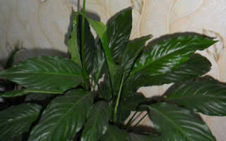 Как называется женский цветок счастья по-научному: как правильно именовать его по-другому, фото комнатного растения Спатифиллум