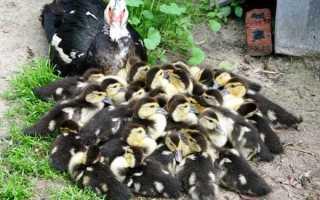 Сколько дней утка может сидеть на яйцах: детальный фото- и видеообзор