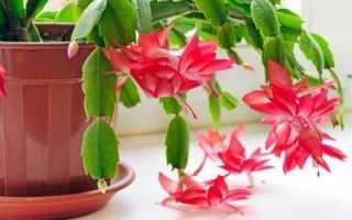 Уход за декабристом: полив, пересадка и разведение, причины отсутствия цветения