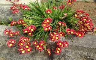 Цветы спараксис: фото сортов, посадка и уход при выращивании в открытом грунте и домашних условиях