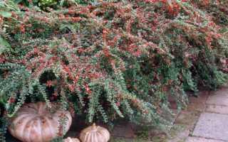 Виды и сорта кизильника — описание с фото растения, видео