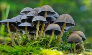 Галлюциногенные грибы: последствия, фото