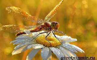 Насекмое стрекоза: описание, размножение, развитие