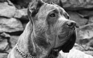 Кане-корсо: описание, характер собаки, уход, фото, цена щенков
