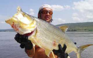 Как выглядит тигровая рыба голиаф: характеристика, опасна ли она для человека, можно ли её держать