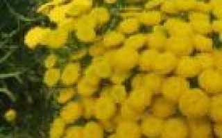 Бузина – надежный защитник садов, домов и огородов
