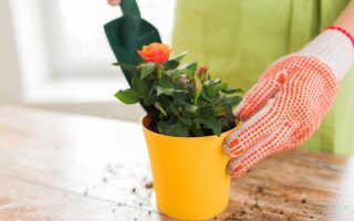 Как вырастить розу из черенка из букета: простые способы