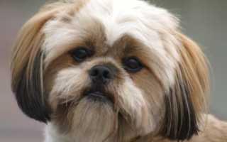 Обзор породы собак Лхаса апсо: стандарт, условия содержания, фото и отзывы