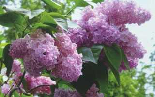 Сирень обыкновенная: описание растения, какие соцветие у сирени, лечебные свойства