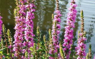 Легендарная и целебная плакун-трава: уход, размножение, магические свойства, применение в народной медицине