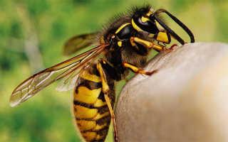 Яд осы, полезен ли укус осы