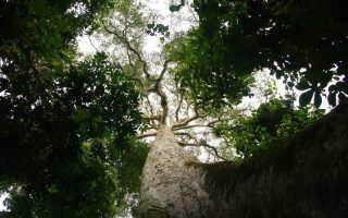 Абаш — африканское дерево