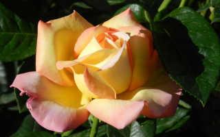 Роза Глория Дей — описание, выбор места в саду, правила ухода