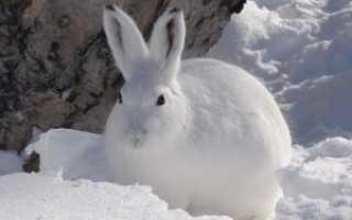 Дробь на зайца — правила выбора и тактика выстрела