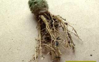 Кактус гниет снизу: что делать, как спасти, если он начал болеть изнутри или с корня,