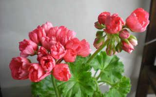 Тюльпановидная пеларгония (герань): фото, гибридные сорта, уход за культурой в домашних условиях