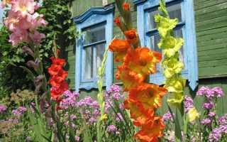 Как сажать гладиолусы весной – правильная посадка цветов + Видео