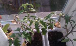 Почему сохнут листья у томатов: главные возможные причины