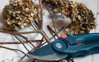 Подготовка гортензии к зиме: обрезка, подкормка, полив и укрытие