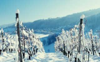 Подготовка винограда к зиме в Подмосковье: как сохранить растение в холодную пору