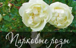 Растение шиповник (парковая роза): фото, описание видов, как выглядит шиповник, полезные свойства