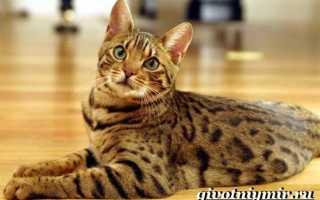 Кошка оцикет: описание породы, характер, уход, где купить и цена