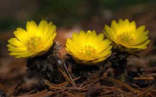 Адонис весенний (горицвет): описание, выращивание из семян