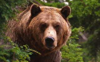 Что делать, если встретил медведя в лесу — инструкция на все случаи
