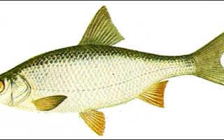 Костистые рыбы (Teleostei) и их строение