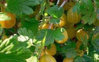 Сорта крыжовника с описанием, характеристикой и отзывами, в том числе для выращивания в Подмосковье, средней