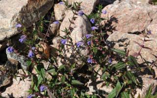 Шлемник байкальский (scutellaria baicalensis): лечебные свойства и противопоказания, фото, отзывы, выращивание из семян, применение препаратов,