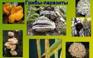 Грибы паразиты — фото и описание трутовиков, спорыньи, ботритиса, кордицепса, видео