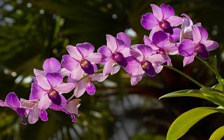 Тайские орхидеи: фото самых популярных видов и их отличительные черты, собенности ухода и пересадки из