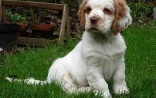 Кламбер спаниель: описание породы и характера собаки, содержание и уход