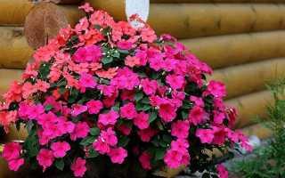 Катарантус ампельный: выращивание из семян, размножение, уход