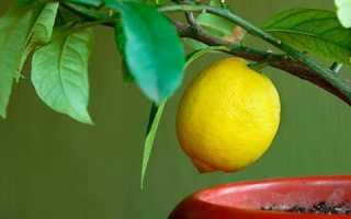 Почему у лимона опадают листья: основные причины