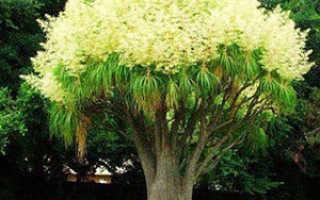 Необычное растение бокарнея (beaucarnea): уход и размножение в комнатных условиях, пересадка после покупки