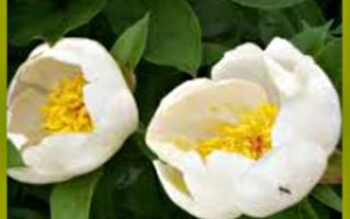 Марьин корень: лечебные свойства и противопоказания, химический состав