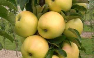 Колоновидная яблоня Президент: описание, характеристика